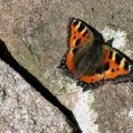 Random image: Tortoiseshell butterfly